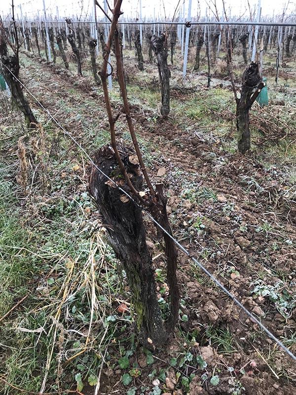 vignes en hivers apres la taille