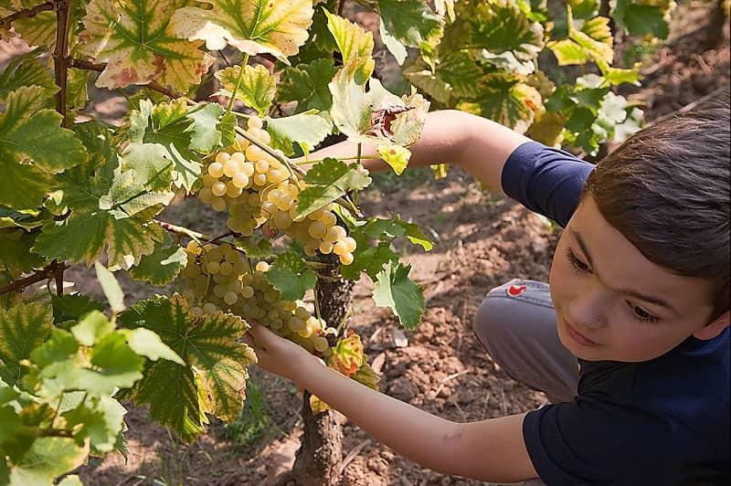 arthur coupe du raisin domaine gueth gueberschwihr